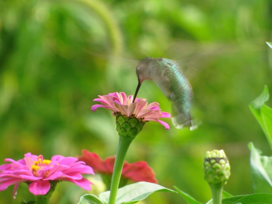 stonyhillfarm_hummingbird