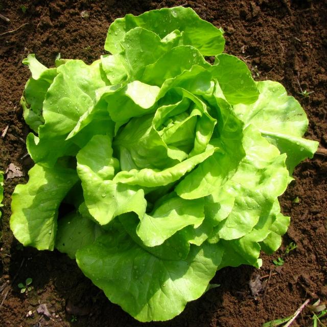 stonyhillfarm_lettuce